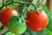 Lubimy jabłka i pomidory - donoszą nowe badania